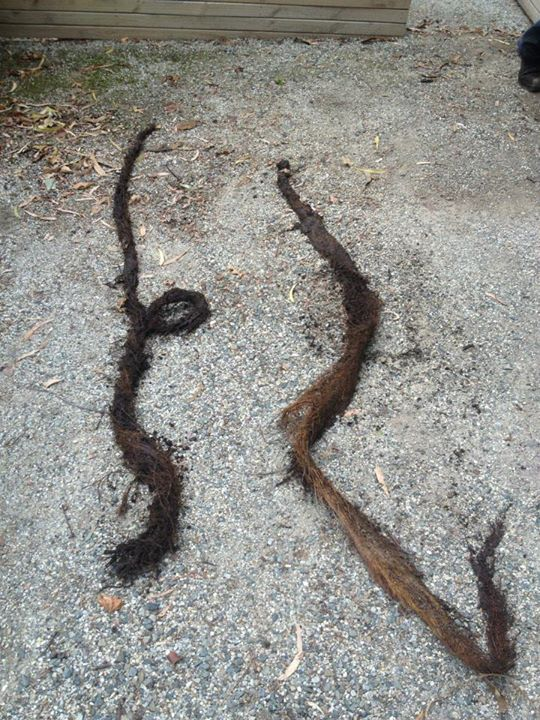Roots pulled from drains